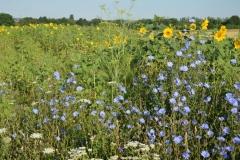 Kulturpflanzen-Blühstreifen aus einjährigen Arten neben blühendem Feldrain