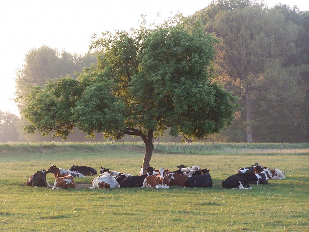 Rinder Kühe Niederrhein Kulturlandschaft