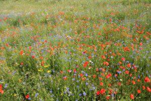 Die Stiftung Rheinische Kulturlandschaft verwendet Regio- Saatgut zur Einsaat von Wildpflanzen-Blühstreifen.