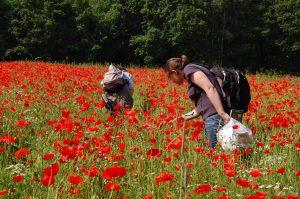Projektarbeit: 1. Saatgut wird naturraumspezifisch und naturverträglich im Sommer gesammelt...