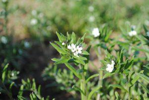Acker-Steinsame (Buglossoides arvensis)