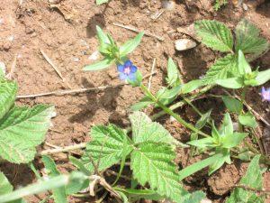 Blauer Gauchheil (Anagallis foemina)