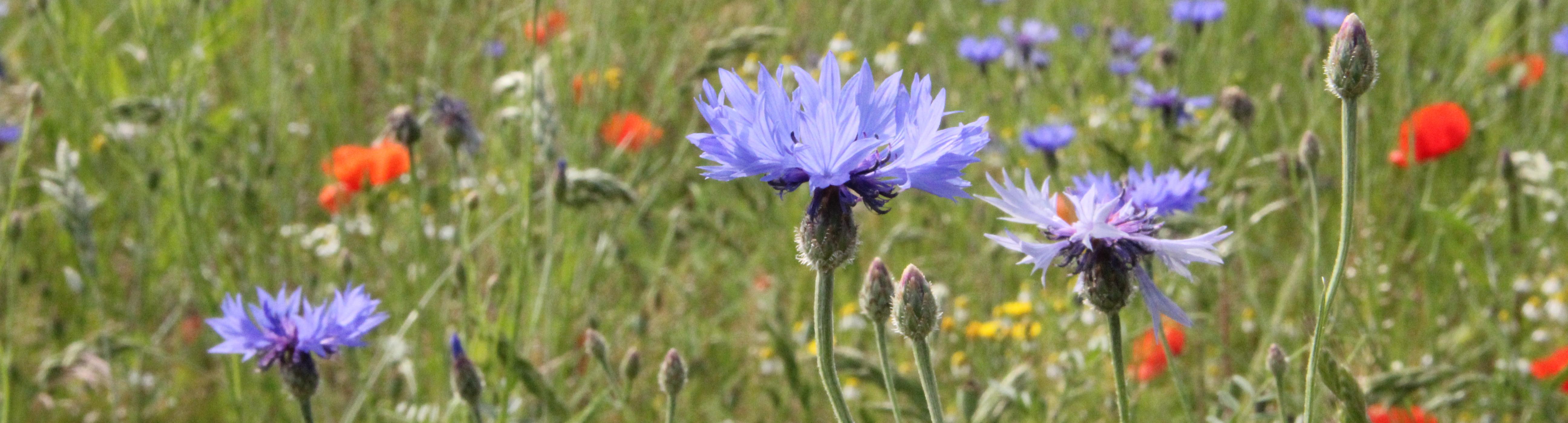 wildpflanzen bluehstreifen regio-saatgut