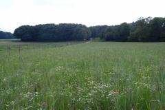 Blühstreifen aus Regio-Saatgut mit Getreide