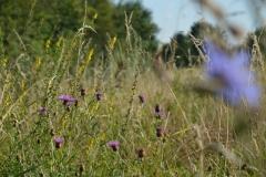 Blühstreifen Feldraine auf Löss nach mehreren Jahren