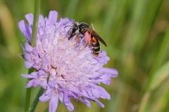 Blütenbesuchendes Insekt bei der Bestäubung
