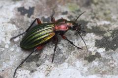 Natürliche Schädlingsbekämfung durch Käfer