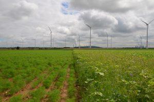 Schaufläche für einen nachhaltigen Anbau von Arznei- und Gewürzpflanzen auf Rekultivierungsböden der RWE Power AG in der Innovationsregion Rheinisches Revier bei Bedburg.