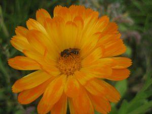 Wildbiene auf Ringelblume, einer bekannten Arzneipflanze