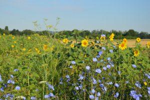 Einjähriger Kulturpflanzen-Blühstreifen zur Blütezeit der Sonnenblume. Im Vordergrund Gewöhnliche Wegwarte.