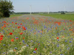 Blühstreifen als Produktionsintegrierte Kompensation