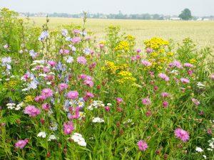 Blühstreifen aus Regio-Saatgut tragen dazu bei, die Artenvielfalt der rheinischen Kulturlandschaften zu fördern.