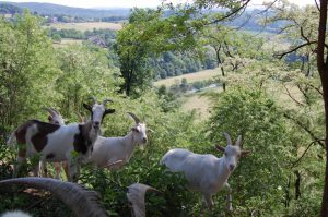 Ziegen als Landschaftspfleger