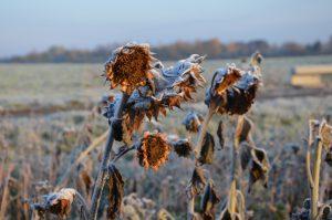 Sonnenblumen im Winterkleid