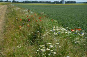 Saumstrukturen sind eine der vielfältigen Möglichkeiten der Biodiversitätsförderung in der Agrarlandschaft.