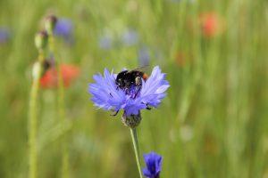 Bestäuber profitieren von heimischen Wildpflanzen.