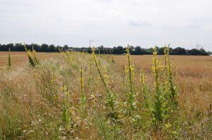 Inmitten von Getreidefeldern bietet die Kleinblütige Königskerze zusammen mit niedrigwüchsigen Kräutern eine große Struktur- vielfalt für die Vogelwelt und andere Nützlinge.