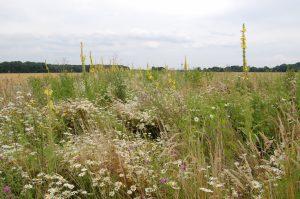 Der Blühstreifen dient als Nahrungsquelle und Lebensraum für Bienen, Schwebfliegen, Spinnen und Vögel.