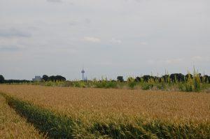 Ein bunter Blühstreifen aus heimischen Arten bereichert die Feldflur in Köln-Widdersdorf. Besonders markant sind die Königskerzen, die erst im zweiten Jahr blühen.