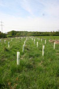 Pflanzung einer Hecke aus heimischen Gehölzen mit Verbissschutz, der sich nach einigen Jahren von selbst zersetzt.
