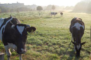 Rinder halten die Grünlandflächen offen, sodass der Steinkauz dort jagen kann.