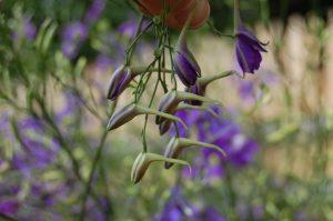 Wenn man die Blüten herumdreht, ist gut erkennbar, warum Consolida regalis (Acker-Rittersporn) auch Delphinium consolida genannt wird.