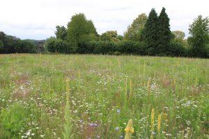 Königskerze, Margerite, Wegwarte und zahlreiche weitere Arten aus regionaler Vermehrung bieten einen vielfältigen Blühaspekt.