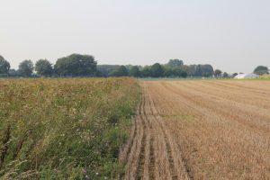 Der Blühstreifen dient nach der Getreideernte im Herbst als wichtiger Rückzugsraum für viele Tiere der Feldflur.