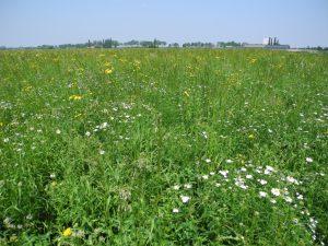 Die bunt blühende Gründlandfläche zieht viele nützliche Insekten, z. B. Wildbienen, und Spinnen an. Auch Vögel finden hier Nahrung und Unterschlupf.