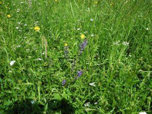Weitere Wildkräuter wie Wiesen-Pippau, Schafgarbe und Wiesen-Salbei sorgen für eine bunte Blütenvielfalt, die auch zahlreichen Bestäubern zugutekommt.