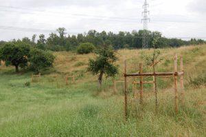 Der Hang mit Streuobstbestand wird von Kühen beweidet, um eine Verbuschung der Fläche zu verhindern. Die frisch gesetzten Obstbäume wurden vor Verbiss geschützt.