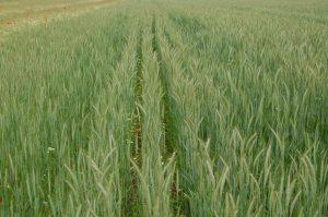 Doppelter Reihenabstand im Getreide in Kombination mit verringerter Düngung und Verzicht auf Herbizide schafft Licht und Platz für Feldvögel und Ackerwildkräuter.