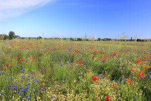 Die Blühstreifen mit heimischen Wildkräutern wie Klatsch-Mohn und Kornblume sorgen für farbige Akzente in der Kulturlandschaft.