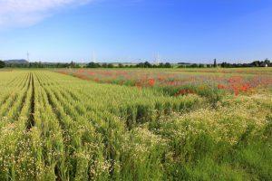 Das Getreide des Artenschutzackers ist mit weitem Reihenabstand eingesät worden, um Raum für typische Ackerbegleitpflanzen und Tiere der Feldflur zu schaffen.