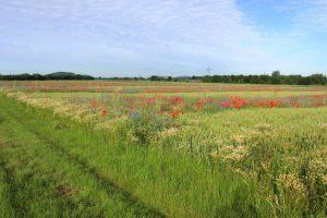 Mehrere Blühstreifen ziehen sich als strukturgebende Elemente und als wertvolle Wegschneisen für viele Tiere durch das Getreidefeld.