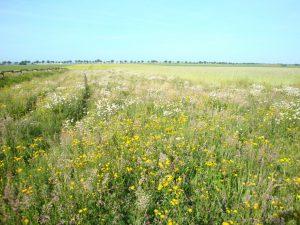 Blühstreifen in Weilerswist, eingesät mit zertifiziertem Regio-Saatgut