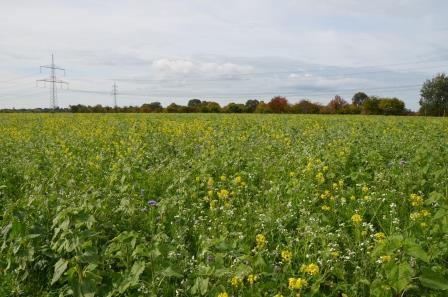 Zwischenfrüchte Summendes Rheinland gegen Insektensterben