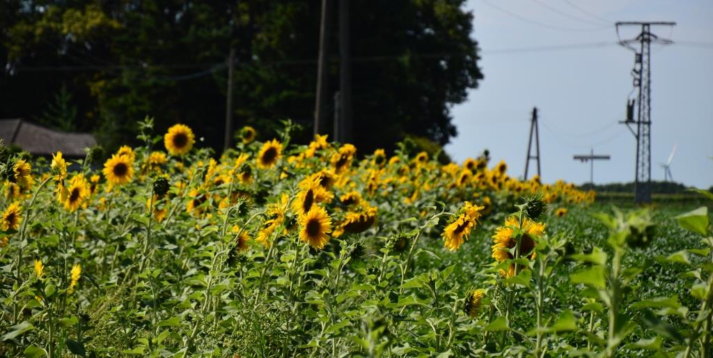 Sonnenblumenaspekt in Kulturpflanzen-Blühstreifen