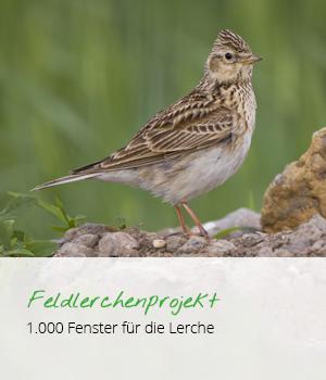 teaser_feldlerche