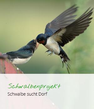 teaser_schwalben